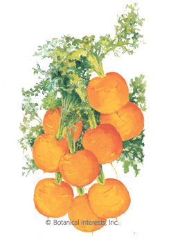 Carrot Tonda di Parigi HEIRLOOM Seeds