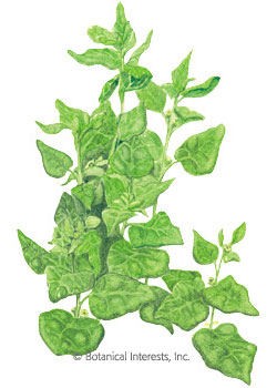 Spinach New Zealand HEIRLOOM Seeds