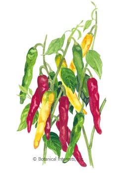 Pepper Chile Cayenne Blend HEIRLOOM Seeds