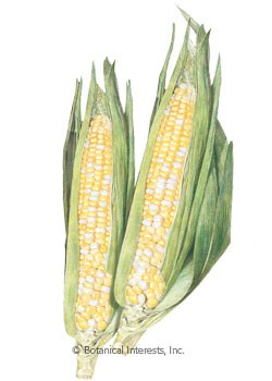 Corn Sweet Sugarbaby (bicolor) Seeds