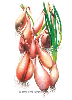 Onion Shallot Zebrune HEIRLOOM Seeds
