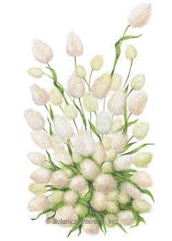 Grass Bunny Tails HEIRLOOM Seeds