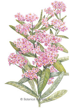 Forget-Me-Not Victoria Pink Seeds