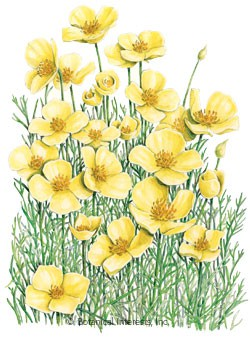 Poppy California Dwarf Seeds