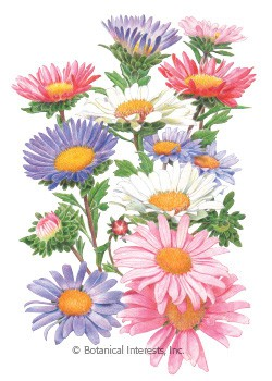 Aster China Aster Blend HEIRLOOM Seeds