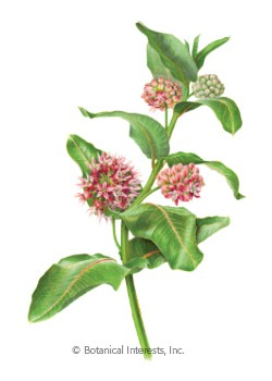 Butterfly Flower Showy Milkweed Seeds