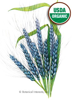 Wheat Utrecht Blue Organic HEIRLOOM Seeds