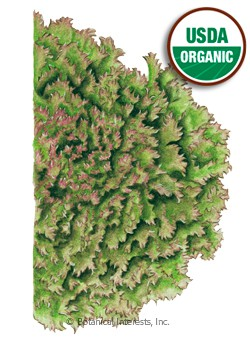 Lettuce Leaf Lolla Rossa Organic HEIRLOOM  Seeds