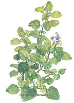 Marjoram HEIRLOOM Seeds
