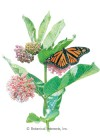 Butterfly Flower Common Milkweed Seeds