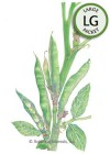 Bean Broad Fava Windsor HEIRLOOM Seeds (LG)